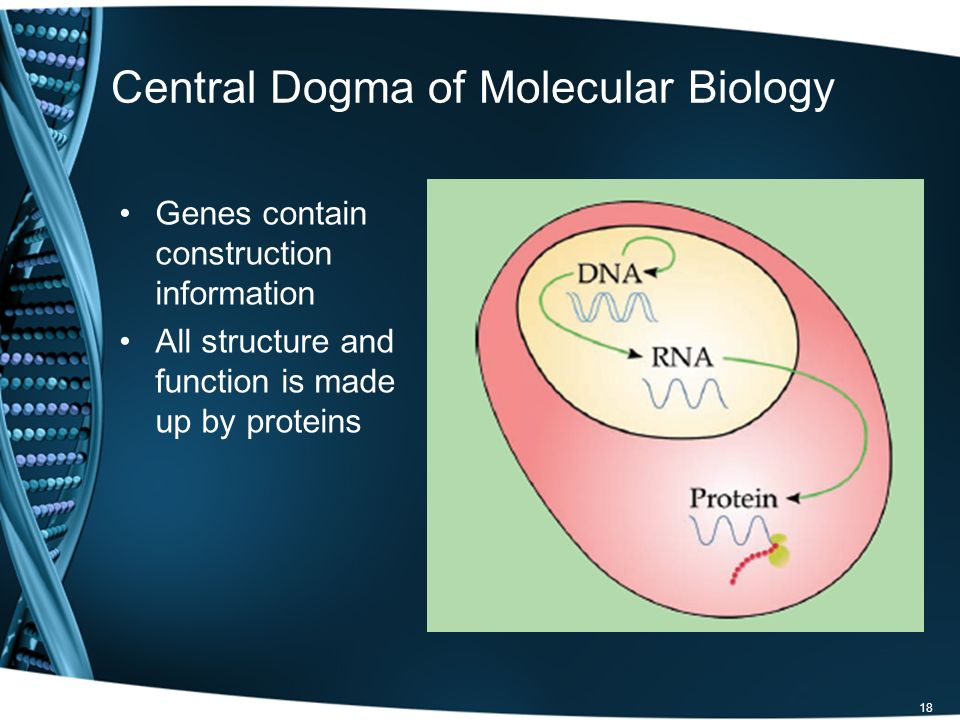 Central Dogma of Molecular Biology Genes contain construction information All structure and function is made up by proteins 18