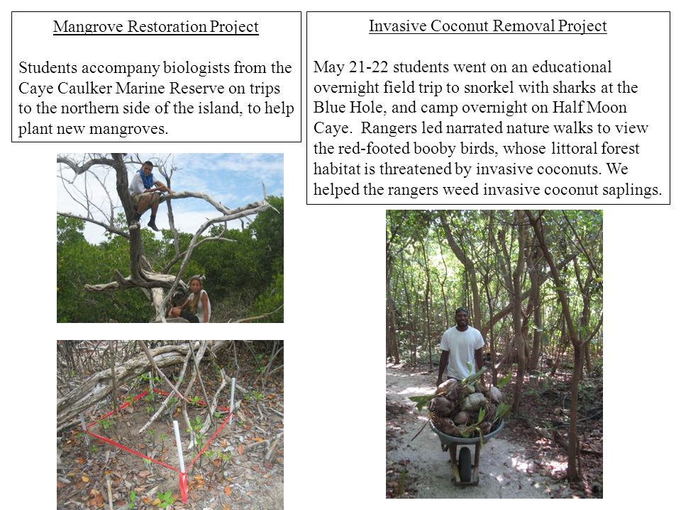Mangrove Restoration Project Students accompany biologists from the Caye Caulker Marine Reserve on trips to the northern side of the island, to help p