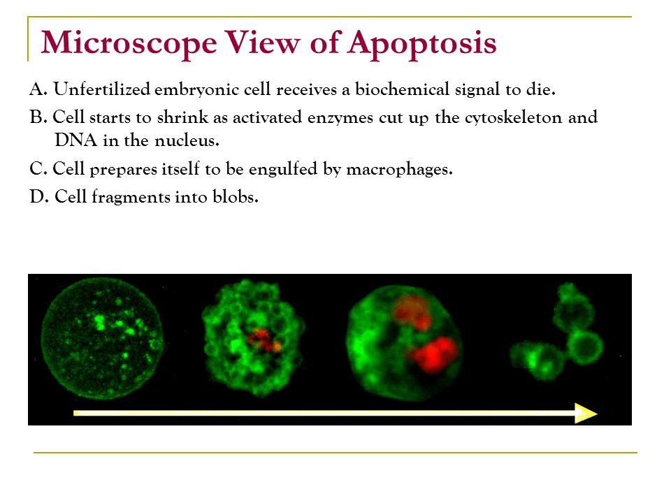 Microscope View of Apoptosis A.Unfertilized embryonic cell receives a biochemical signal to die.