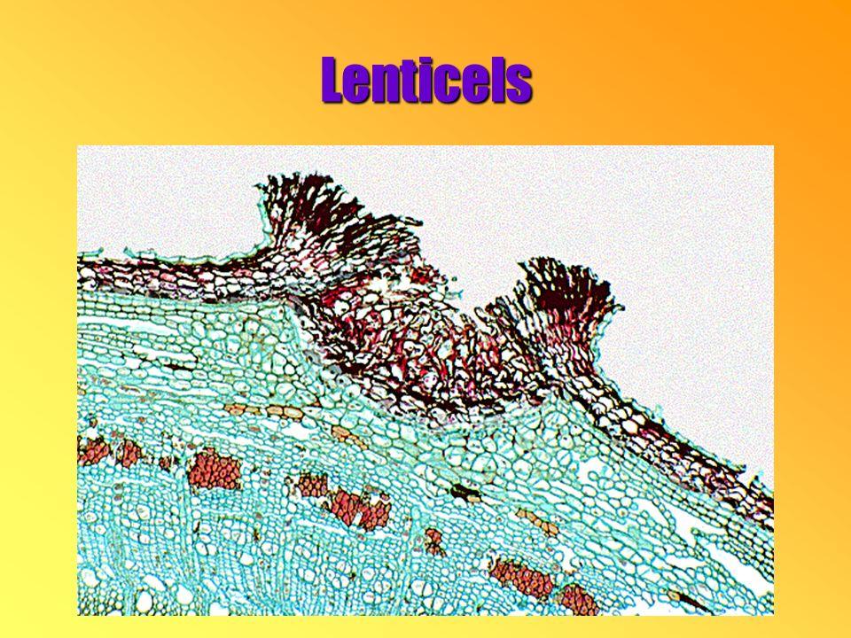 Lenticels