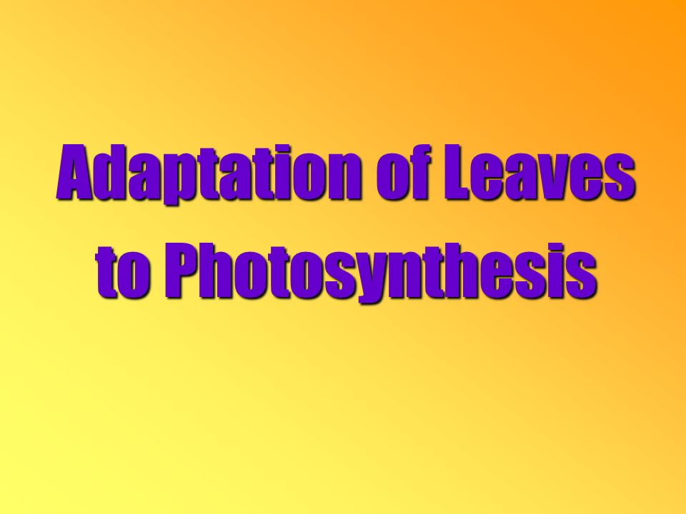 Adaptation of Leaves to Photosynthesis