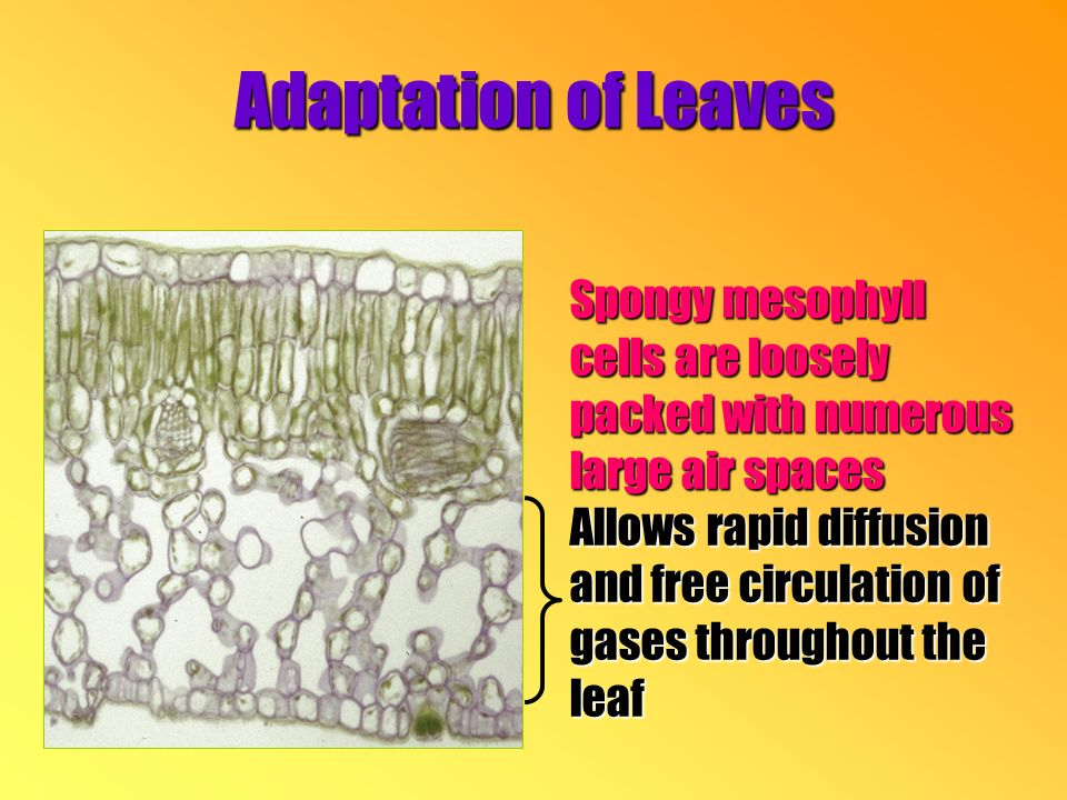 Spongy mesophyll cells are loosely packed with numerous large air spaces Allows rapid diffusion and free circulation of gases throughout the leaf Adaptation of Leaves