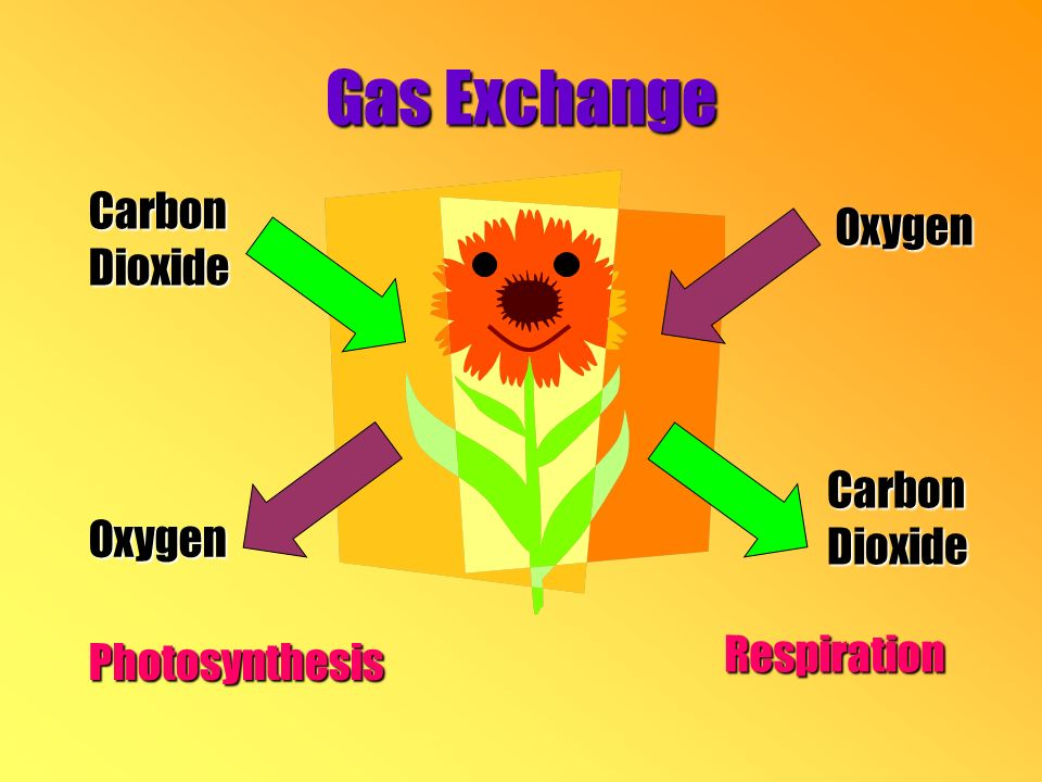 Gas Exchange CarbonDioxide Oxygen Photosynthesis Oxygen CarbonDioxide Respiration