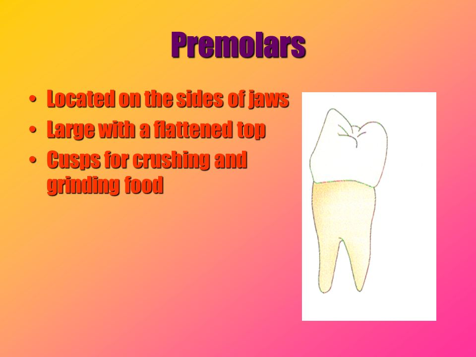 Premolars Located on the sides of jawsLocated on the sides of jaws Large with a flattened topLarge with a flattened top Cusps for crushing and grindin
