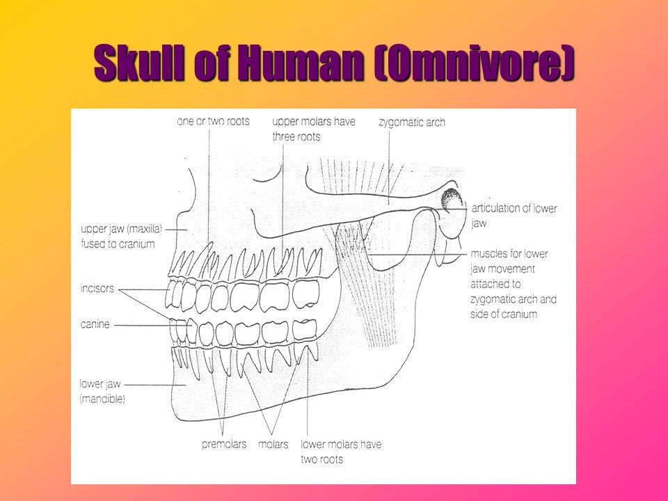 Skull of Human (Omnivore)