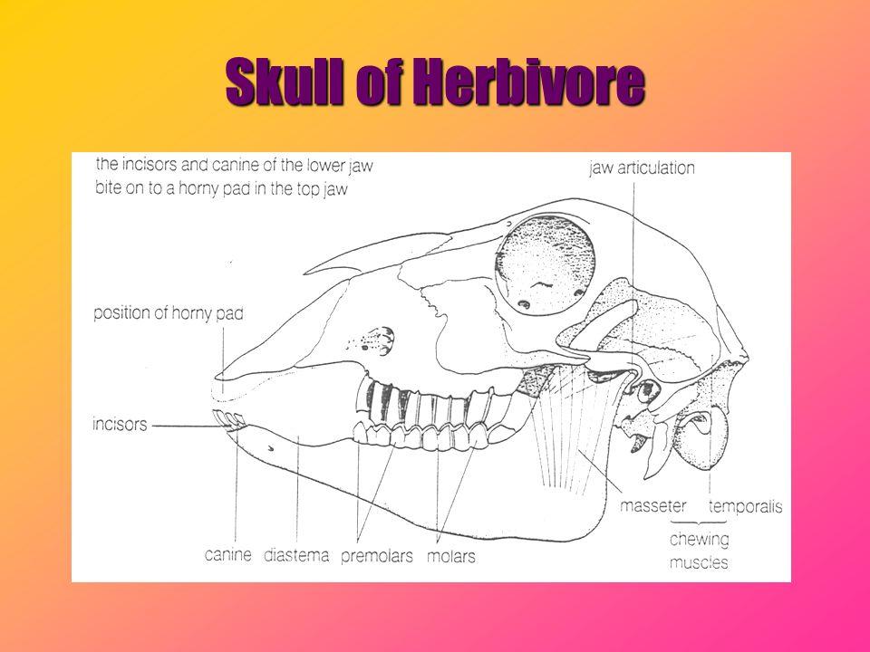 Skull of Herbivore