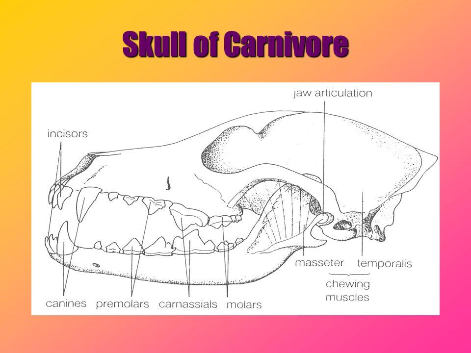 Skull of Carnivore