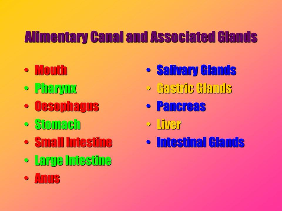 Alimentary Canal and Associated Glands MouthMouth PharynxPharynx OesophagusOesophagus StomachStomach Small IntestineSmall Intestine Large IntestineLar