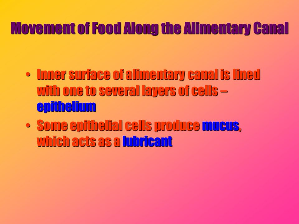 Movement of Food Along the Alimentary Canal Inner surface of alimentary canal is lined with one to several layers of cells – epitheliumInner surface o