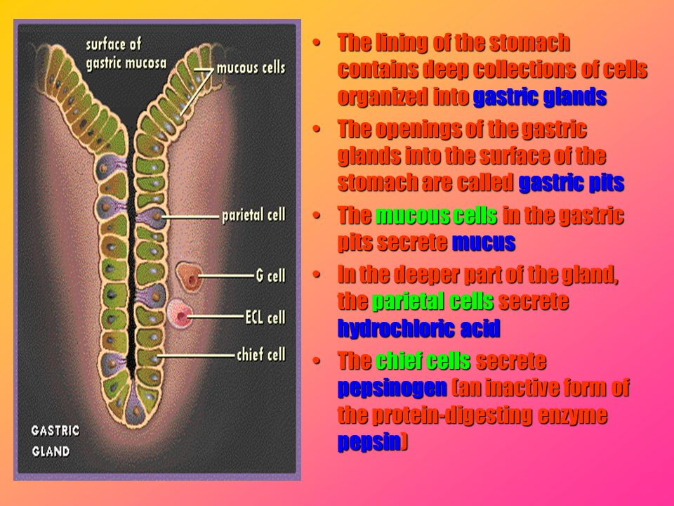 The lining of the stomach contains deep collections of cells organized into gastric glandsThe lining of the stomach contains deep collections of cells