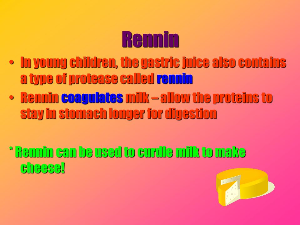 Rennin In young children, the gastric juice also contains a type of protease called renninIn young children, the gastric juice also contains a type of