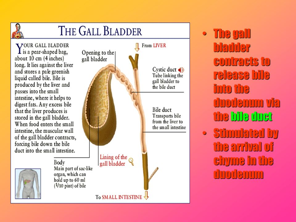 The gall bladder contracts to release bile into the duodenum via the bile ductThe gall bladder contracts to release bile into the duodenum via the bil