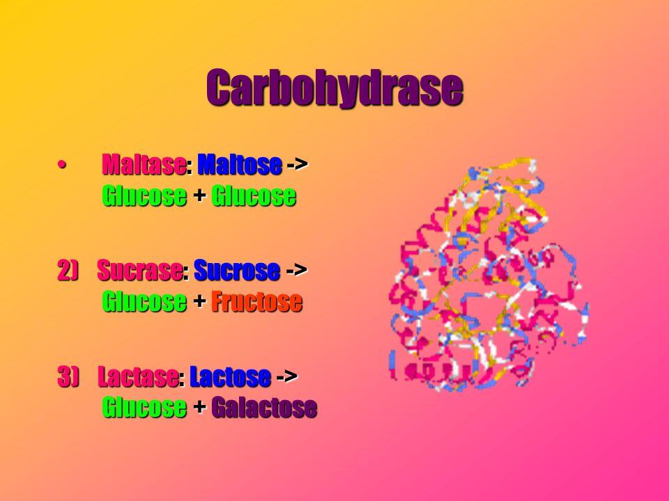 Carbohydrase Maltase: Maltose -> Glucose + GlucoseMaltase: Maltose -> Glucose + Glucose 2) Sucrase: Sucrose -> Glucose + Fructose 3) Lactase: Lactose