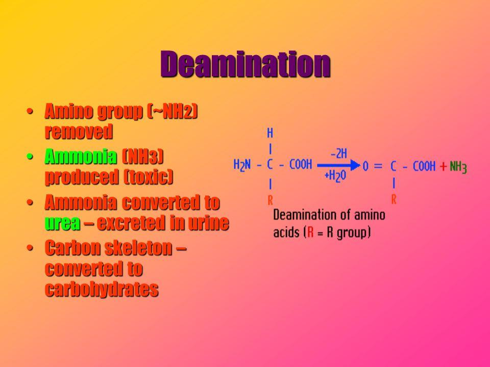Deamination Amino group (~NH 2 ) removedAmino group (~NH 2 ) removed Ammonia (NH 3 ) produced (toxic)Ammonia (NH 3 ) produced (toxic) Ammonia converte