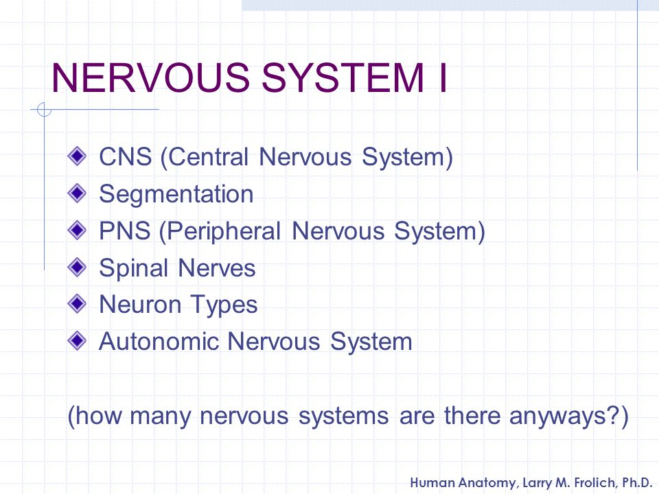 Human Anatomy, Larry M. Frolich, Ph.D. NERVOUS SYSTEM I CNS (Central Nervous System) Segmentation PNS (Peripheral Nervous System) Spinal Nerves Neuron
