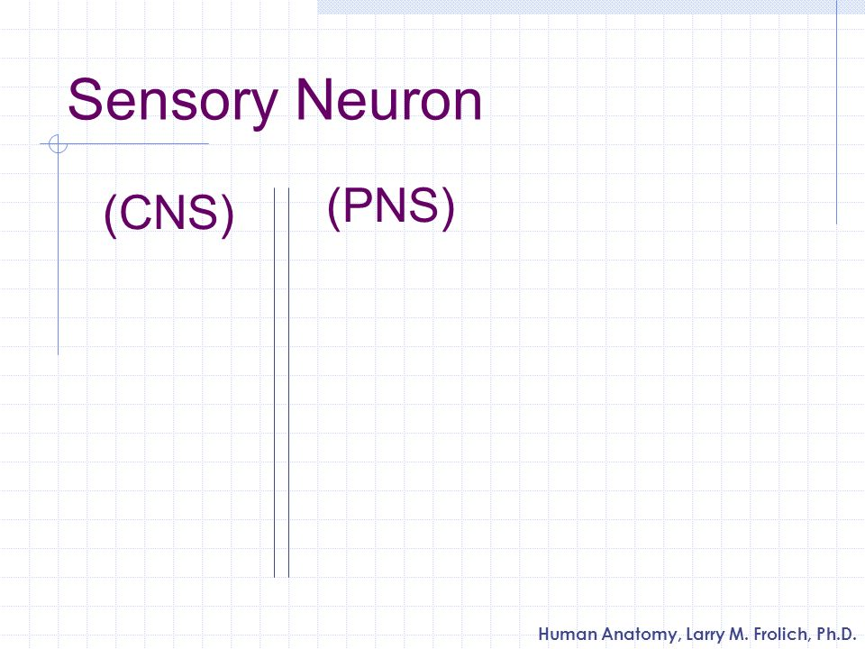 Human Anatomy, Larry M. Frolich, Ph.D. Sensory Neuron (PNS) (CNS)