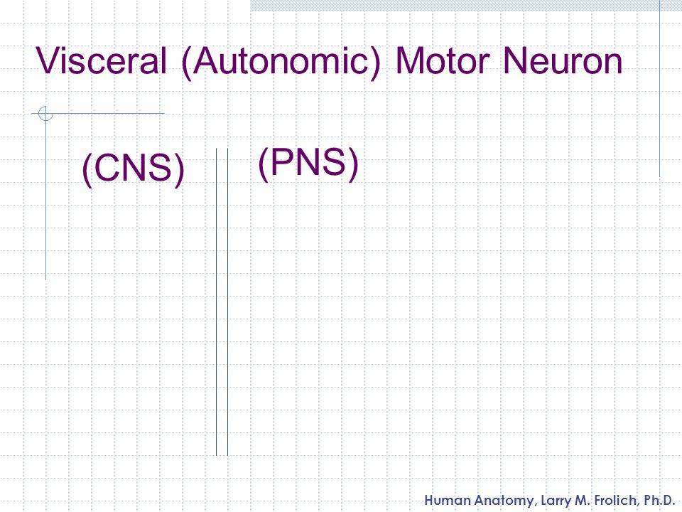 Human Anatomy, Larry M. Frolich, Ph.D. Visceral (Autonomic) Motor Neuron (PNS) (CNS)