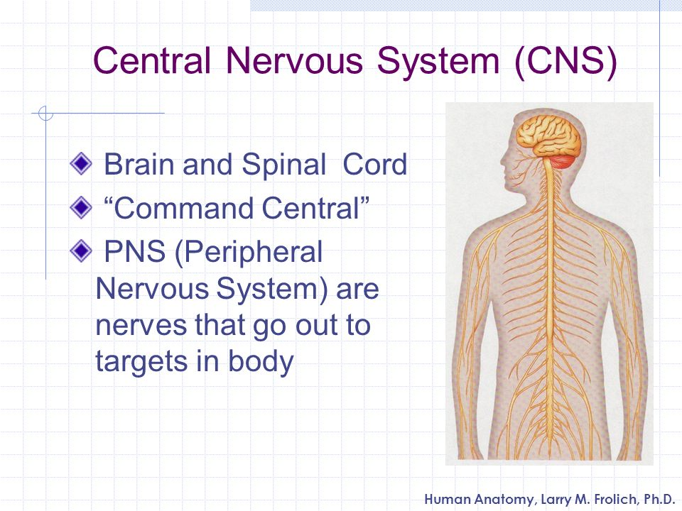 Human Anatomy, Larry M. Frolich, Ph.D. Central Nervous System (CNS) Brain and Spinal Cord Command Central PNS (Peripheral Nervous System) are nerves t
