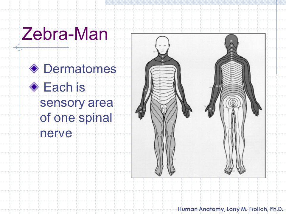 Human Anatomy, Larry M. Frolich, Ph.D. Zebra-Man Dermatomes Each is sensory area of one spinal nerve