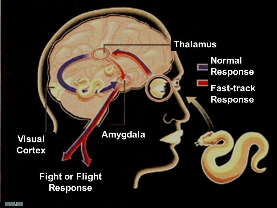 Normal Response Fast-track Response Thalamus Amygdala Visual Cortex Fight or Flight Response