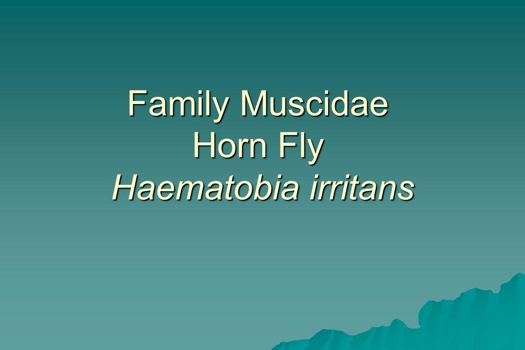 Family Muscidae Horn Fly Haematobia irritans