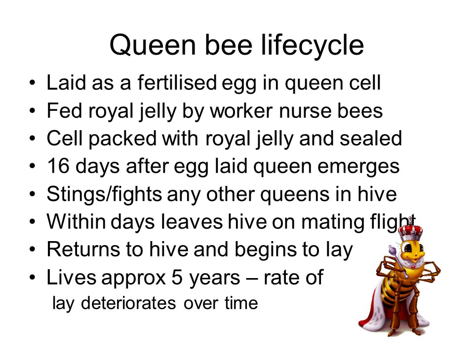 Queen bee lifecycle Laid as a fertilised egg in queen cell Fed royal jelly by worker nurse bees Cell packed with royal jelly and sealed 16 days after egg laid queen emerges Stings/fights any other queens in hive Within days leaves hive on mating flight Returns to hive and begins to lay Lives approx 5 years – rate of lay deteriorates over time