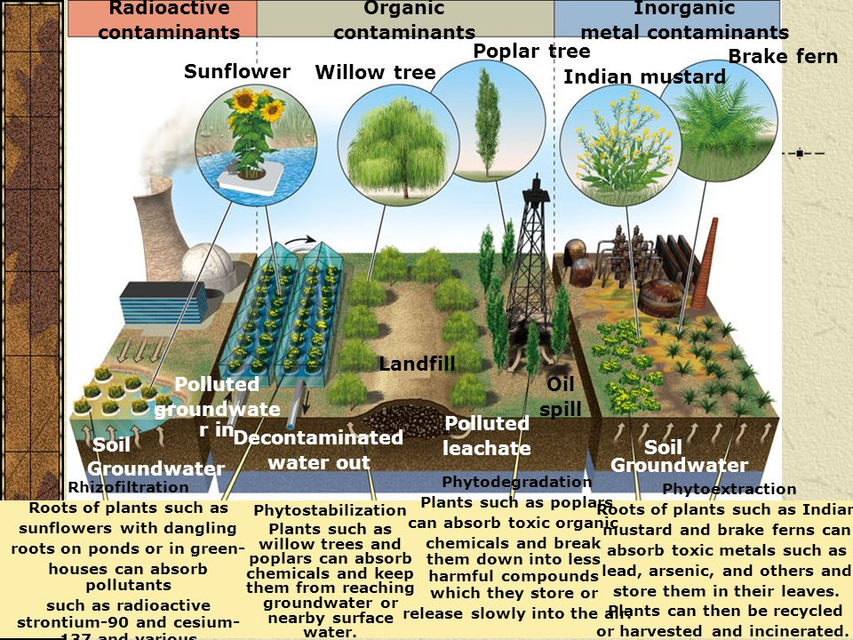Phytostabilization Plants such as willow trees and poplars can absorb chemicals and keep them from reaching groundwater or nearby surface water. Rhizo
