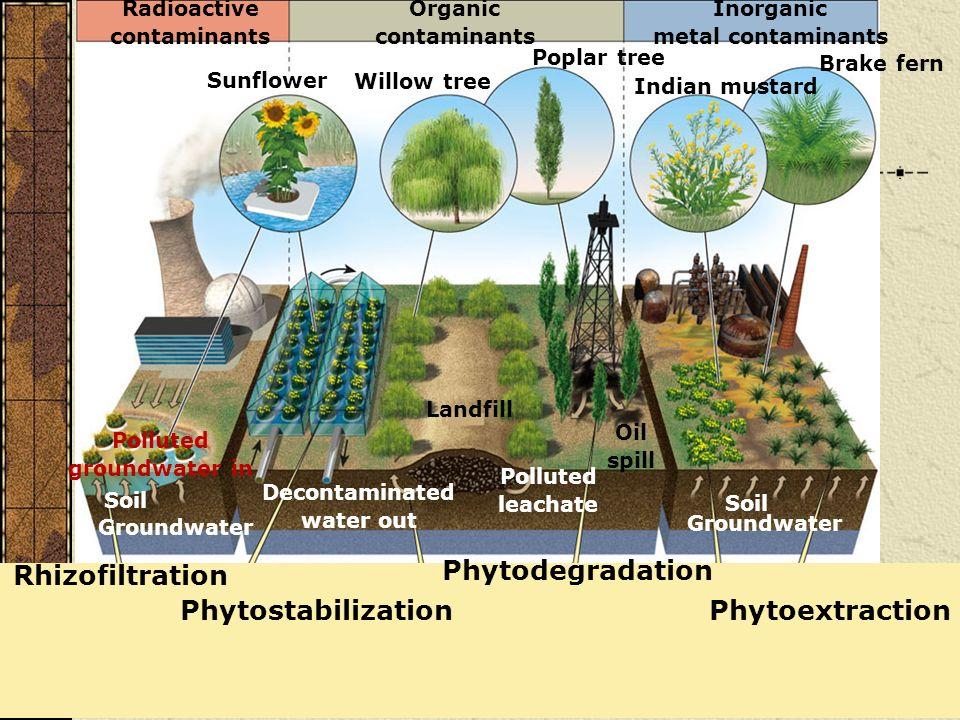 Phytostabilization Rhizofiltration Phytoextraction Phytodegradation Inorganic metal contaminants Organic contaminants Radioactive contaminants Brake f