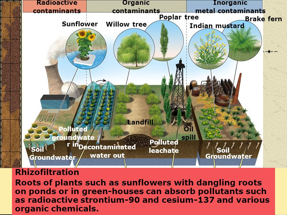 Rhizofiltration Roots of plants such as sunflowers with dangling roots on ponds or in green-houses can absorb pollutants such as radioactive strontium