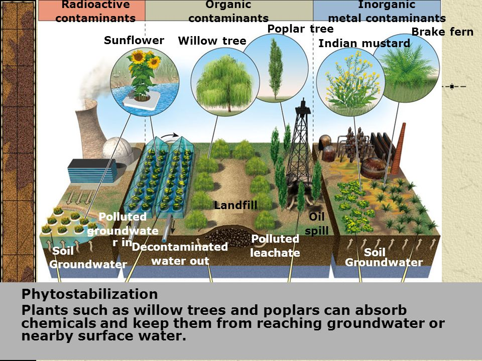Phytostabilization Plants such as willow trees and poplars can absorb chemicals and keep them from reaching groundwater or nearby surface water. Inorg