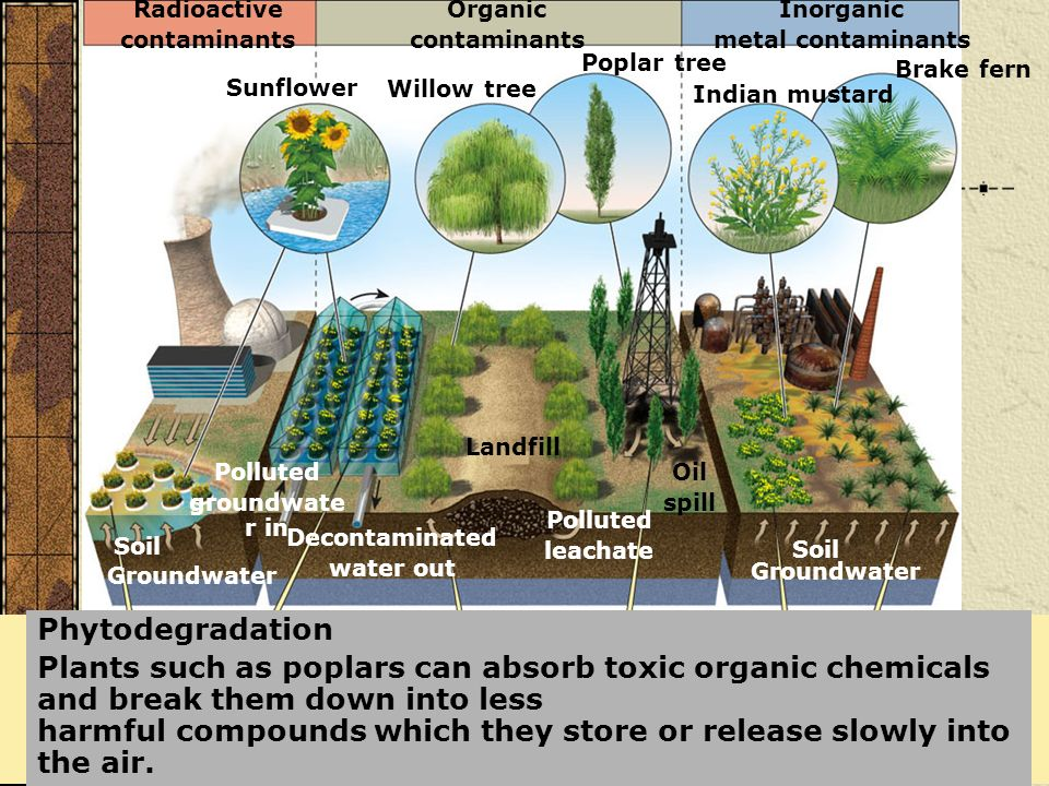 Phytodegradation Plants such as poplars can absorb toxic organic chemicals and break them down into less harmful compounds which they store or release
