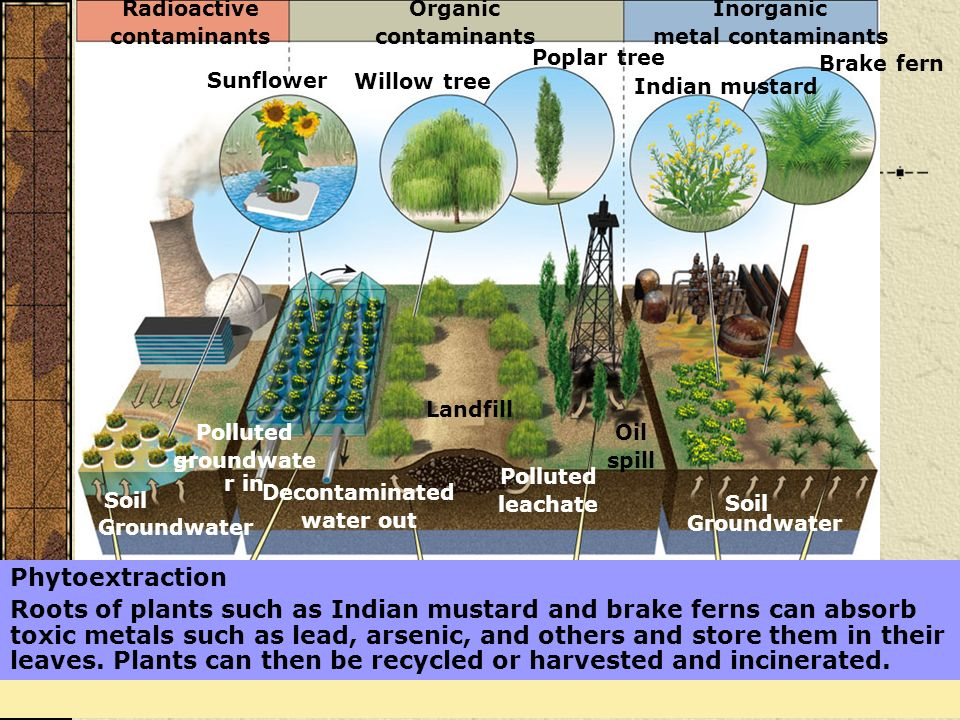 Phytoextraction Roots of plants such as Indian mustard and brake ferns can absorb toxic metals such as lead, arsenic, and others and store them in the