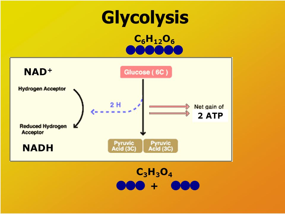 1. Glycolysis Glucose is split to form pyruvate. Takes place in the cytoplasm of the cell. ATP and NADH are byproducts. Glycolysis Chemical Equation G