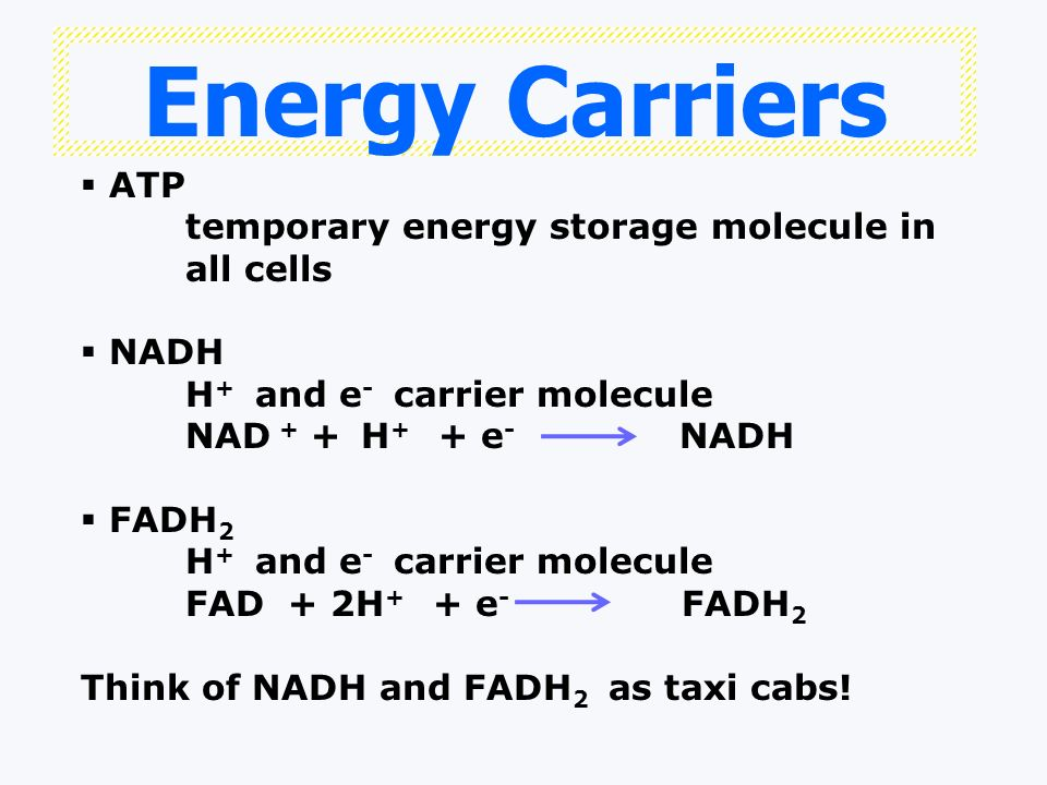 Energy Carriers ATP temporary energy storage molecule in all cells NADH H + and e - carrier molecule NAD + + H + + e - NADH FADH 2 H + and e - carrier molecule FAD + 2H + + e - FADH 2 Think of NADH and FADH 2 as taxi cabs!