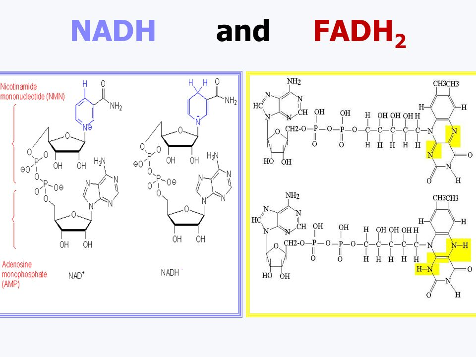 Energy Carriers ATP temporary energy storage molecule in all cells NADH H + and e - carrier molecule NAD + + H + + e - NADH FADH 2 H + and e - carrier