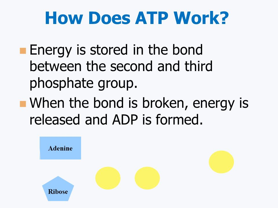 How Does ATP Work.Energy is stored in the bond between the second and third phosphate group.