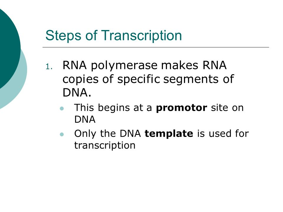 Steps of Transcription 1.RNA polymerase makes RNA copies of specific segments of DNA.