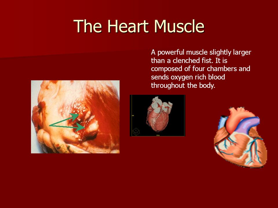The Heart Muscle A powerful muscle slightly larger than a clenched fist. It is composed of four chambers and sends oxygen rich blood throughout the bo