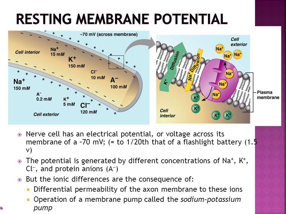 Nerve cell has an electrical potential, or voltage across its membrane of a –70 mV; (= to 1/20th that of a flashlight battery (1.5 v) The potential is