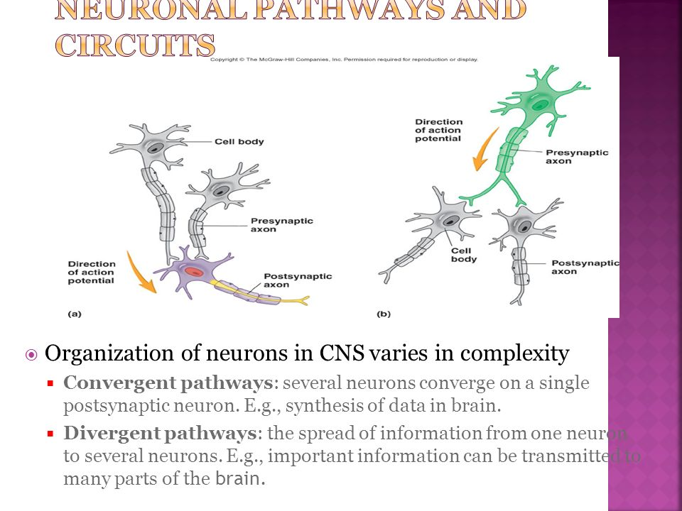 Organization of neurons in CNS varies in complexity Convergent pathways: several neurons converge on a single postsynaptic neuron. E.g., synthesis of