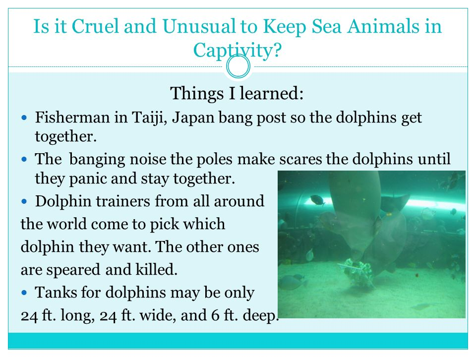 Is it Cruel and Unusual to Keep Sea Animals in Captivity? Things I learned: Fisherman in Taiji, Japan bang post so the dolphins get together. The bang