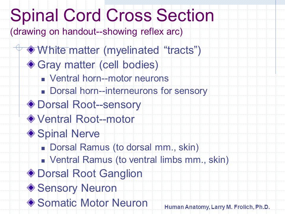 Human Anatomy, Larry M.Frolich, Ph.D.