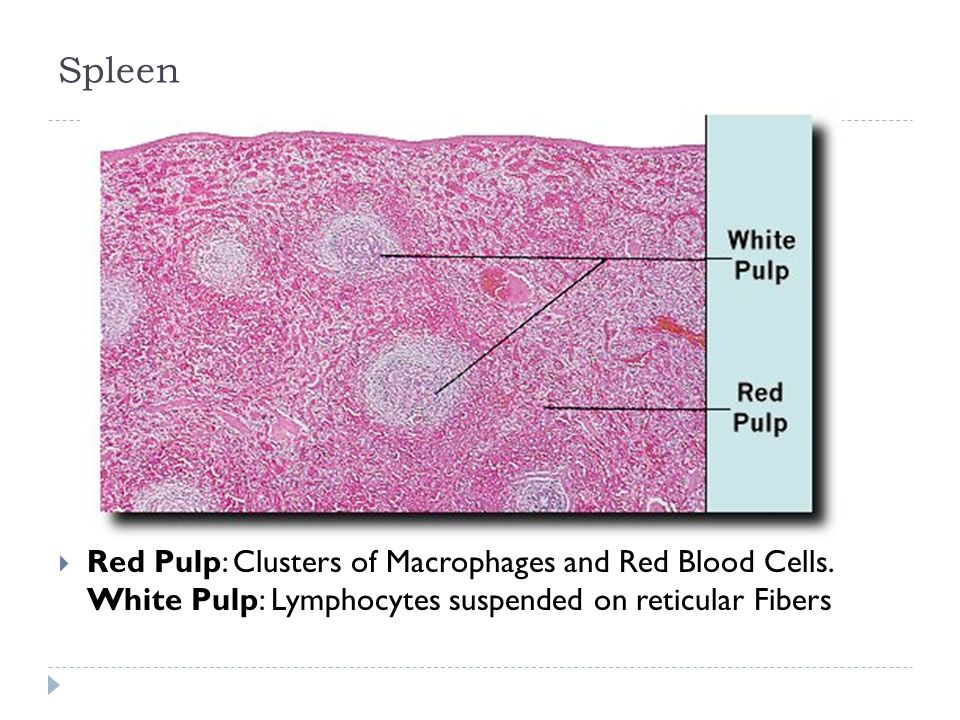 Spleen Red Pulp: Clusters of Macrophages and Red Blood Cells. White Pulp: Lymphocytes suspended on reticular Fibers