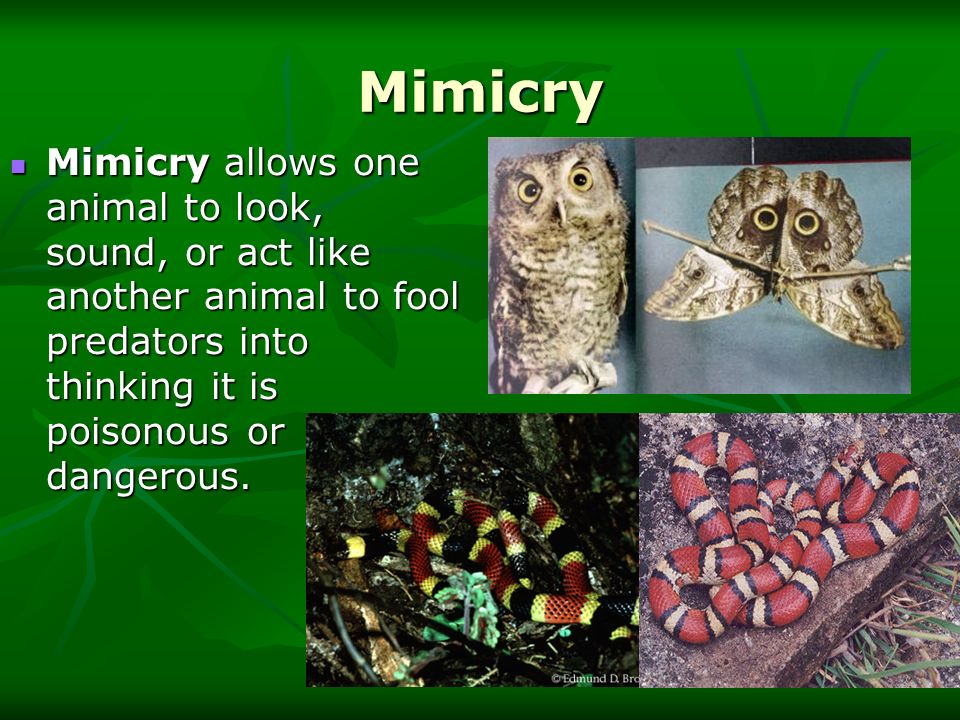 Mimicry Mimicry allows one animal to look, sound, or act like another animal to fool predators into thinking it is poisonous or dangerous. Mimicry all