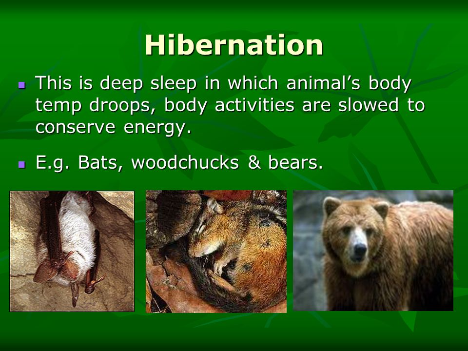 Hibernation This is deep sleep in which animals body temp droops, body activities are slowed to conserve energy. This is deep sleep in which animals b