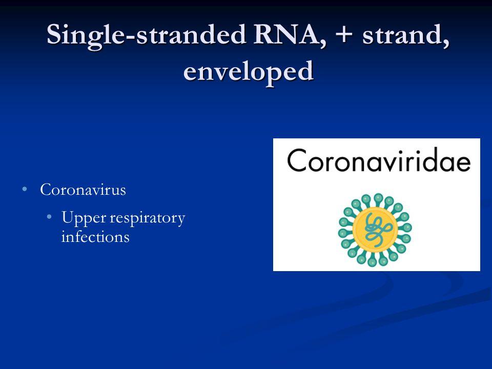 Single-stranded RNA, + strand, enveloped Coronavirus Upper respiratory infections