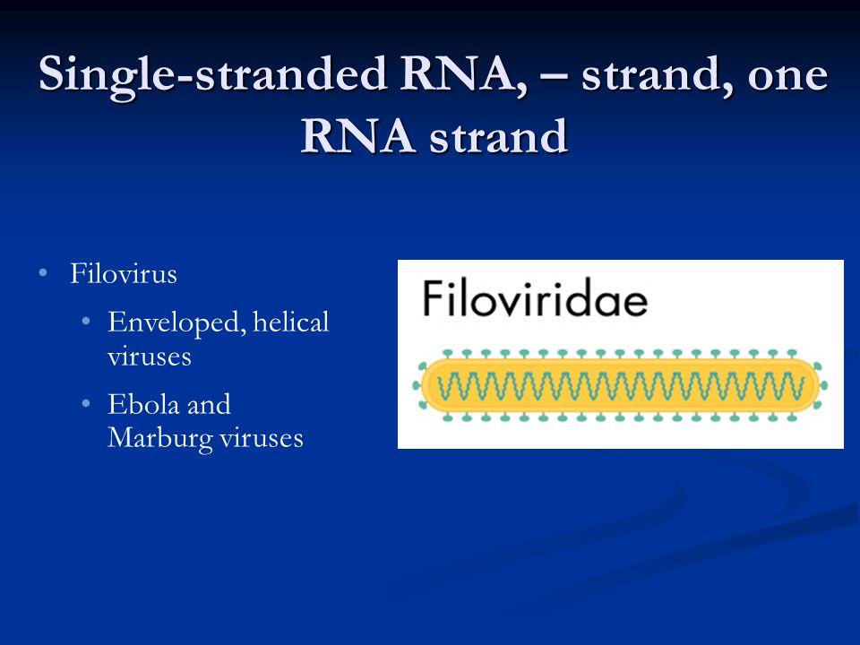Single-stranded RNA, – strand, one RNA strand Filovirus Enveloped, helical viruses Ebola and Marburg viruses