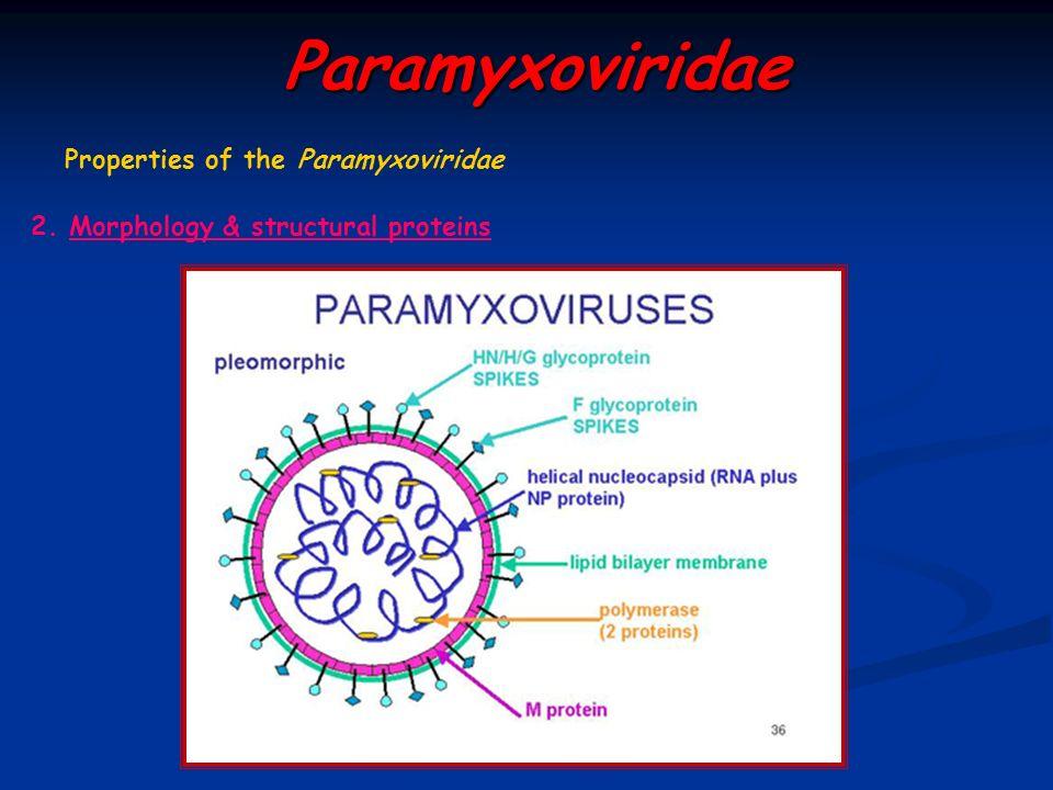 Paramyxoviridae Properties of the Paramyxoviridae 2. Morphology & structural proteins