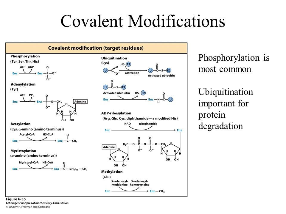 Covalent Modifications Phosphorylation is most common Ubiquitination important for protein degradation