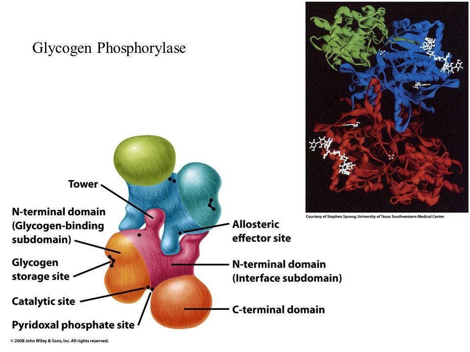 Glycogen Phosphorylase